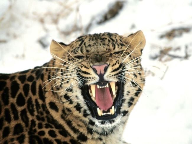 Snarl of a leopard