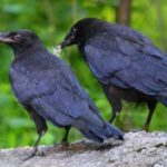 Crow – large black bird