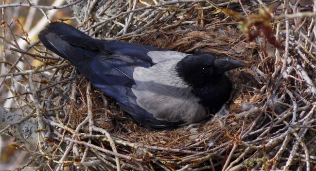 Crow in its nest