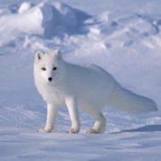 Polar Arctic fox