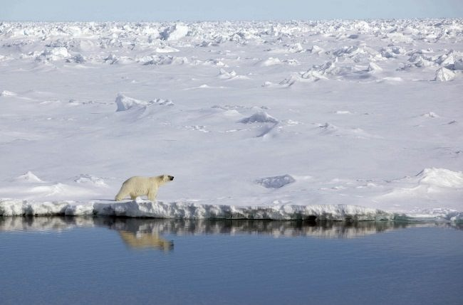 Polar bear in Greenland