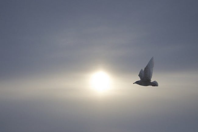 Seagull in the misty sky of Greenland