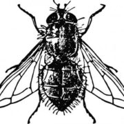 Attractive fly