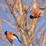 Awesome bullfinches