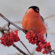 Beautiful bullfinch