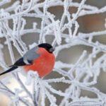 Bullfinch – red spot on snow
