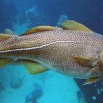 Cod – interesting fish