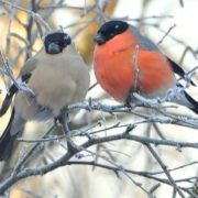 Couple of bullfinches