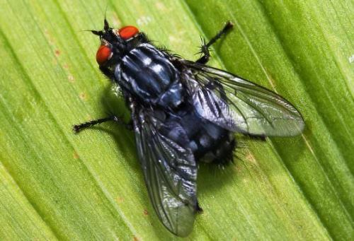 Fly - annoying insect