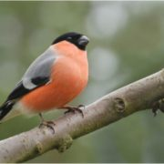 Gorgeous bullfinch