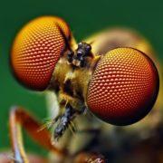 Large compound eyes