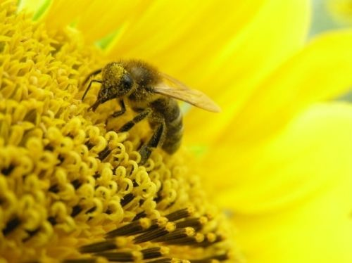 Pollen – tasty and healthy