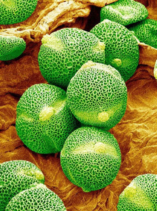 Pollen grains of cucumber. Susumu Nishinaga