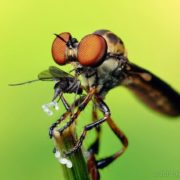 The fly is eating. Photo by Thomas Shahan