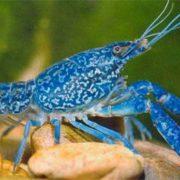 Amazing blue crayfish