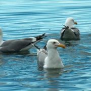 Attractive gulls
