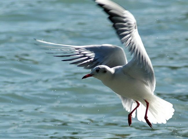 Charming gull