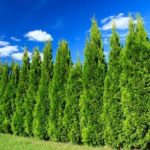 Cypress – evergreen tree