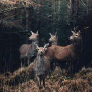 Great deer