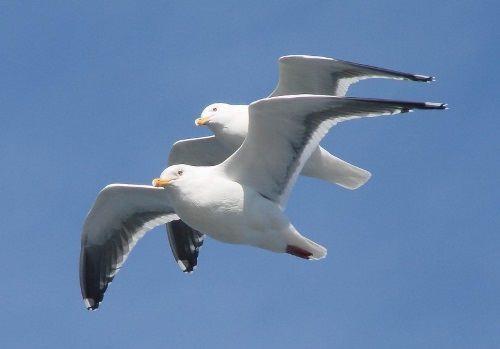 Gulls - Ocean's Cleanup Crew