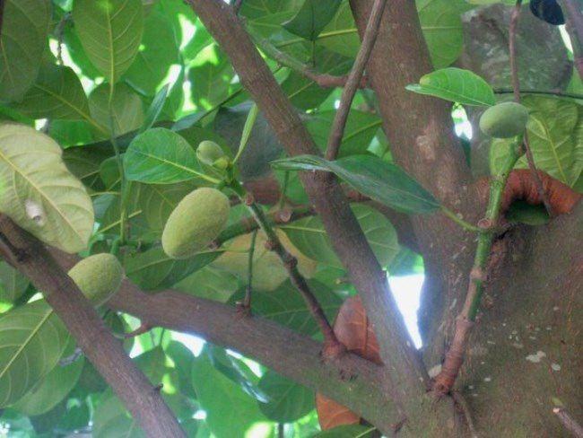Little jackfruit