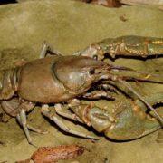 Magnificent crayfish