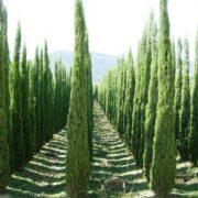 Magnificent cypresses