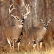 Male and female deer