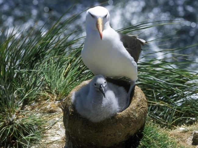 Seagull on nest