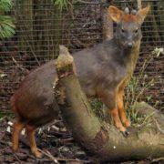 Smallest deer pudu