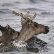 Swimming deer