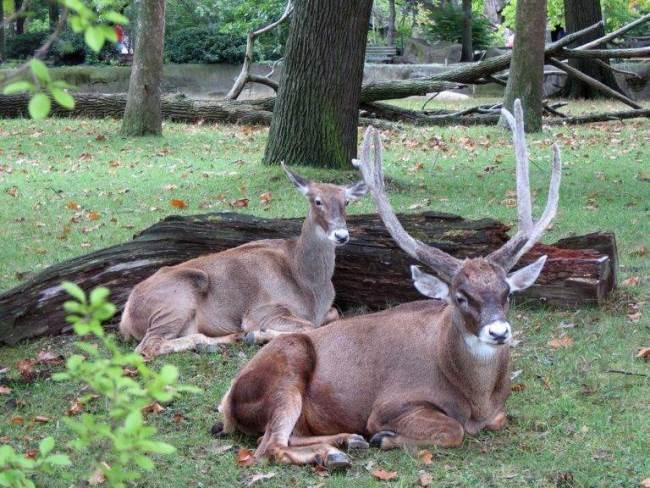 Thorold's deer