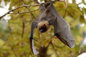 fluffy bat