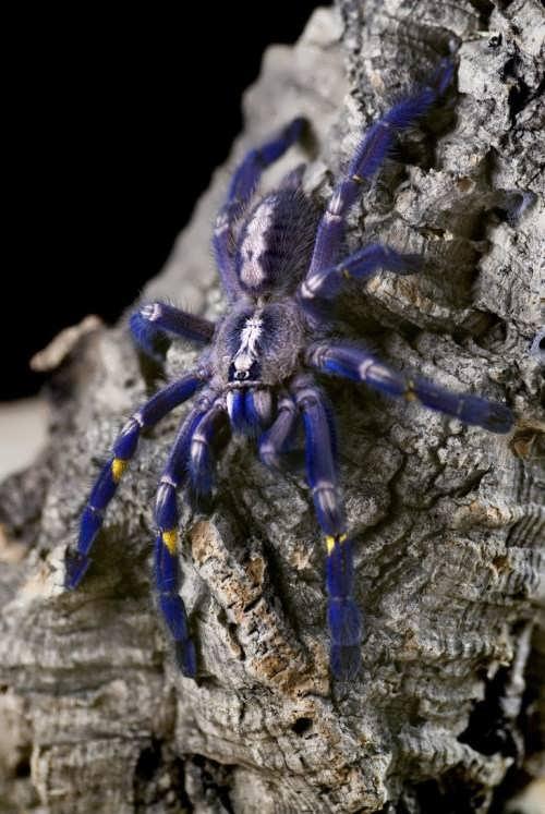 Most poisonous spider