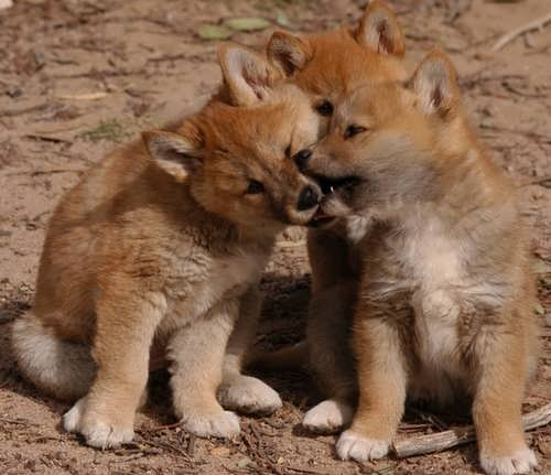 Little cute dingoes