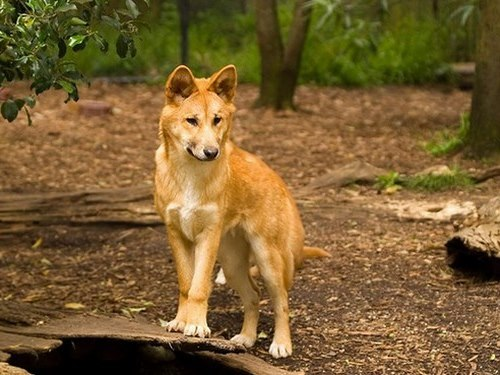 Dingoes Innocent Killers Wander Lord