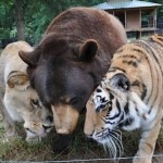 Lion, Bear and Tiger
