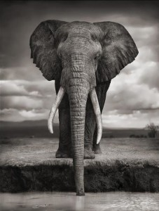 elephant black and white