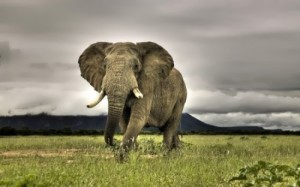great elephant