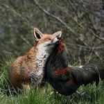 Fox and Cockerel