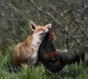 Fox and Cockerel
