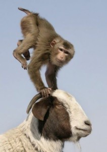 Monkey and Goat
