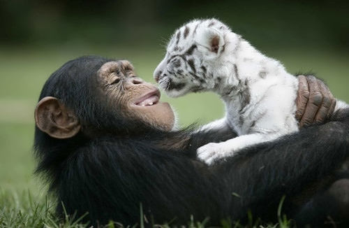 Monkey and Tiger