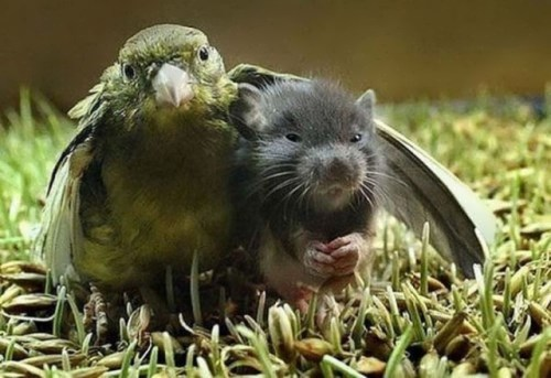 Parrot and Rat