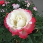 Chameleon rose