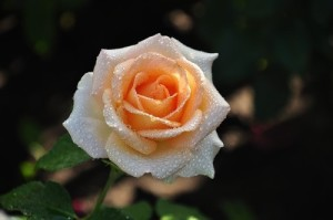 wonderful rose