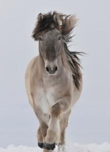 Yakut horse