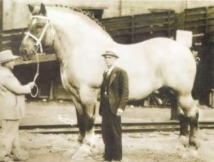 Sampson - the heaviest horse