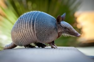 Armadillo - little armoured thing