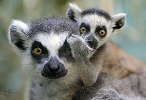 Baby lemur and its mother